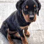 imagen rottweiler cachorra Selva